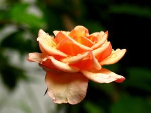 Rose mit Tropfen-kl
